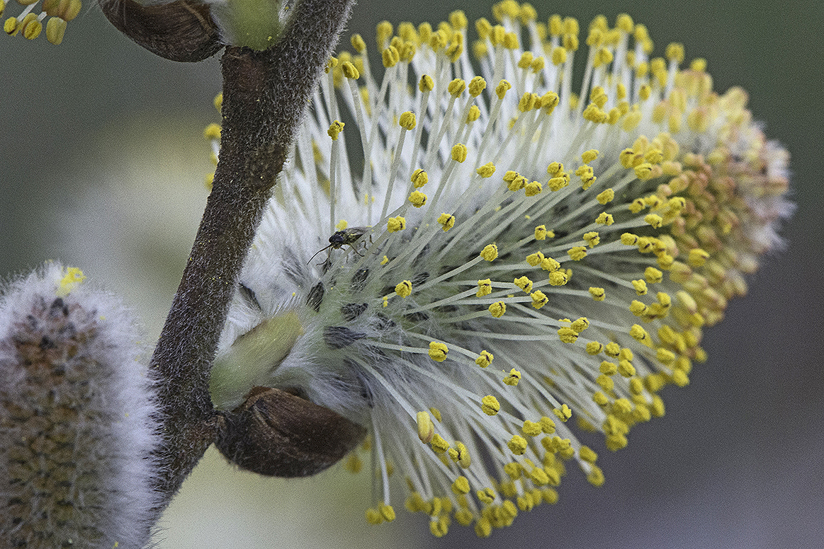Pussy Willow, flowering catkin
